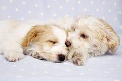 Twee die puppy op een blauwe achtergrond worden gelegd Stock Afbeelding