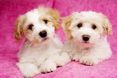 Twee die puppy op een roze achtergrond worden gelegd Stock Foto's