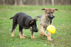 Twee die puppys spelen Royalty-vrije Stock Afbeeldingen