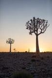 Twee die Quiver Bomen tegen de zonsopgang worden gesilhouetteerd Stock Fotografie