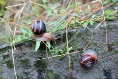 Twee die slakken op een steen met mos wordt behandeld Royalty-vrije Stock Fotografie