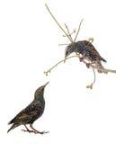 Twee die starling Stock Afbeelding