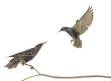 Twee die starling Royalty-vrije Stock Foto