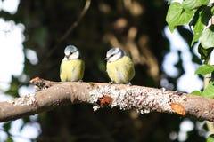 Twee die Vogels op een Tak worden neergestreken Stock Afbeeldingen