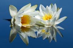 Twee die waterlilies in water wordt weerspiegeld stock foto's