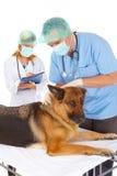 Twee dierenartsen die hond onderzoeken stock foto's