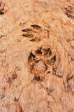 Twee dierlijke voetafdrukken in een modderige grond Royalty-vrije Stock Fotografie