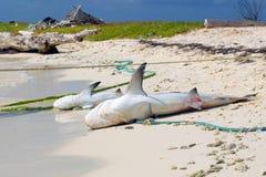Twee dode haaien Royalty-vrije Stock Foto's