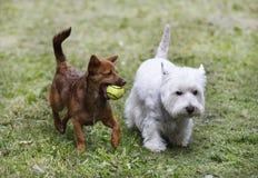 Twee doggies Stock Afbeeldingen
