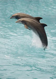 Twee dolfijnen Royalty-vrije Stock Fotografie