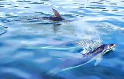 Twee Dolfijnen Stock Foto