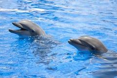 Twee dolfijnen in de pool royalty-vrije stock fotografie
