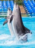 Twee dolfijnen die in de pool dansen Royalty-vrije Stock Afbeelding