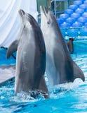 Twee dolfijnen die in de pool dansen Stock Foto