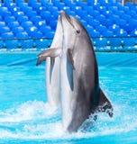 Twee dolfijnen die in de pool dansen Stock Foto's