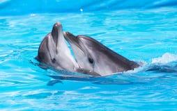 Twee dolfijnen die in de pool dansen Royalty-vrije Stock Foto