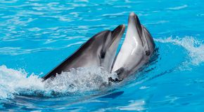 Twee dolfijnen die in de pool dansen Stock Afbeelding