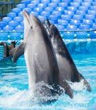 Twee dolfijnen die in de pool dansen Royalty-vrije Stock Fotografie