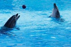 Twee dolfijnen die volleyball spelen Stock Foto