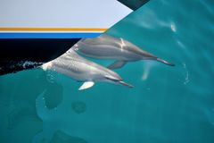 Twee dolfijnen het zwemmen Royalty-vrije Stock Foto