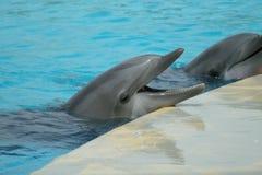 Twee dolfijnen tijdens een show stock afbeeldingen