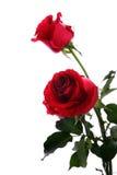 Twee donkerrode rozen die op wit worden geïsoleerd royalty-vrije stock afbeeldingen