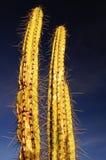 Twee doornige Cactus #1 Royalty-vrije Stock Foto