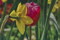 Twee doorweekte bloemen, gele narcissen en een rode tulp stock fotografie
