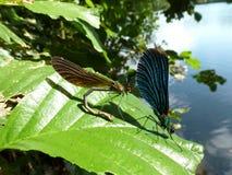 Twee dragonflys Stock Foto