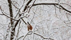 Twee droge bladeren hangen op een tak van een snow-covered boom in een stadspark in de winter stock video