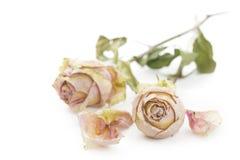 Twee droge rozen die op witte achtergrond liggen stock fotografie