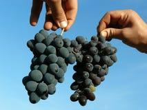 Twee druivenclusters Royalty-vrije Stock Afbeelding