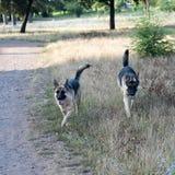 Twee Duitse herders Stock Afbeelding