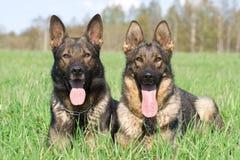 Twee Duitse herders Stock Afbeeldingen