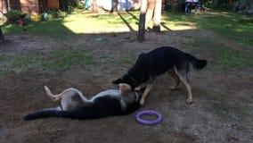 Twee Duitse herders het spelen stock footage