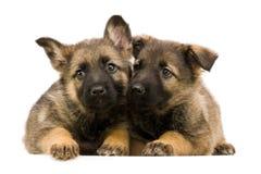 Twee Duitse herders puppys Stock Afbeeldingen
