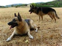 Twee Duitse Sheperd stock foto
