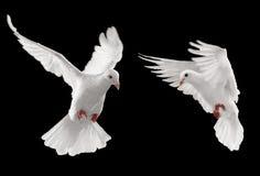 Twee duiven royalty-vrije stock afbeeldingen