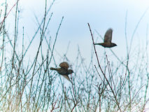 Twee duiven Stock Fotografie