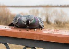 Twee duiven die en zaden knuffelen pikken Stock Afbeeldingen