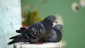 Twee duiven die op mijn venster rusten Royalty-vrije Stock Foto's