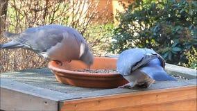 twee duiven, grote duif, veevoeder, het voeden vogelvoedsel, de winter, de lente stock footage
