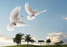 Twee duiven het vliegen Royalty-vrije Stock Afbeelding