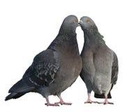 Twee duiven in liefde Stock Fotografie