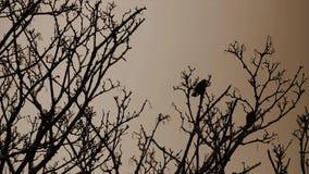 Twee Duiven op boomtakken op een regenachtige dag met selectieve nadruk op aforeground vertakt zich motie, duivensilhouet stock videobeelden