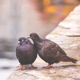 Twee duiven op houten post tonen affectie naar elkaar Stock Afbeelding