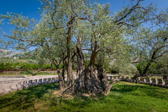 Twee duizend jaar oude olijfboom Stock Foto's