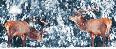 Twee edel hertenmannetje tegen in bos Artistiek de winterlandschap van de de wintersneeuw Het beeld van Kerstmis De wintersprookj royalty-vrije stock foto's