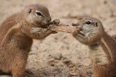 Twee eekhoorns Stock Afbeeldingen