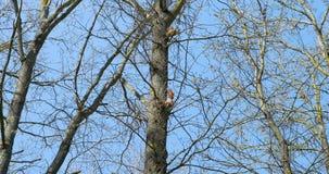 Twee eekhoorns bij de boom stock videobeelden